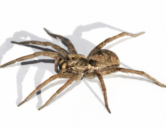Gruda-aranha