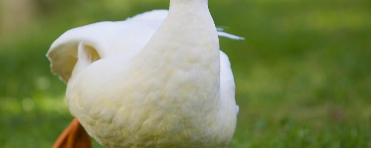 Pato louco